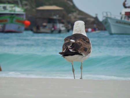 Seagull stand on the sand, Prainhas do Pontal beach, Arraial do Cabo.