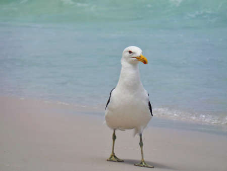 Seagull stand on the sand, Prainhas do Pontal beach, Arraial do Cabo.