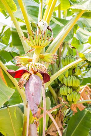 Banana blossom and banana fruit on banana tree photo