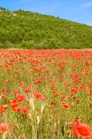 a field of poppies in summer in Tuscany photo