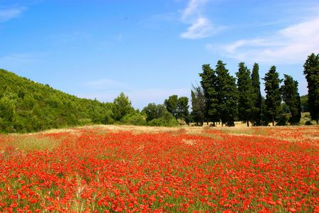 a field of red poppies in summer with a blue sky in Italy photo