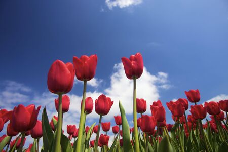 vibrant red tulips in spring against a blue sky with white clouds
