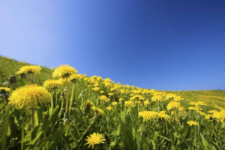 Yellow dandelion flowers on a green field in summer against a blue sky Stock Photo