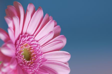 Fresh and bright Gerbera flower against a blue background photo