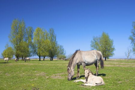 Wild konik horse with a foul in spring grazing in a green meadow photo