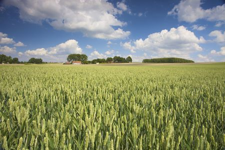 spikes of wheat in a field with a blue sky in summer photo