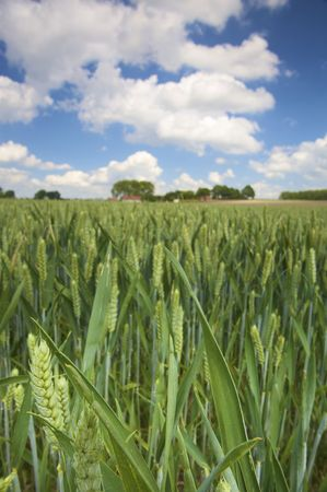 spikes of wheat in a field with a blue sky in summer Stock Photo - 5084206