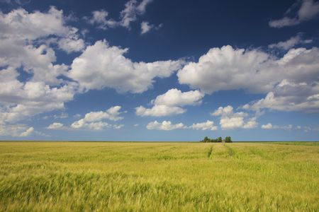 a green field of grain in summer with a blue sky and white clouds Stock Photo - 5168878