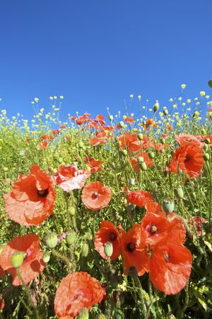 a field of red poppies in bright sunlight in summer Stock Photo - 5168880
