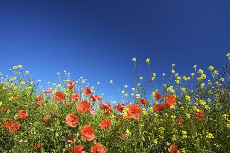 a field of red poppies in bright sunlight in summer