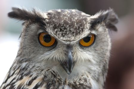 animal watching: Portrait of an Eurasian Eagle Owl with orange eyes