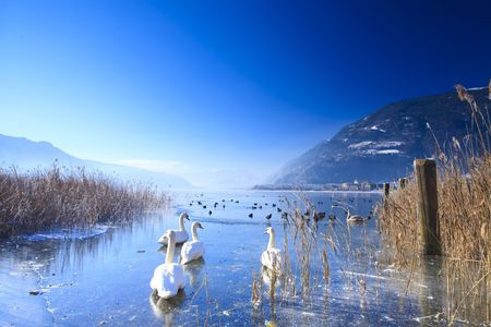 Frozen lake in the alps with swans and ducks on ice in winter photo
