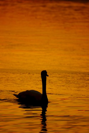 Beautiful golden sunset with swan photo