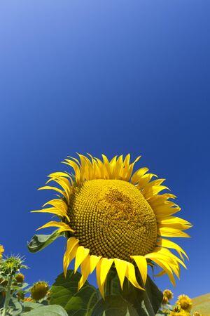 Field with beautiful sunflowers Stock Photo - 7402470