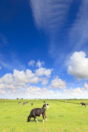 in einem frischen grünen Feld grasende Kühe