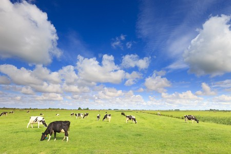 cows grazing in a fresh green field photo