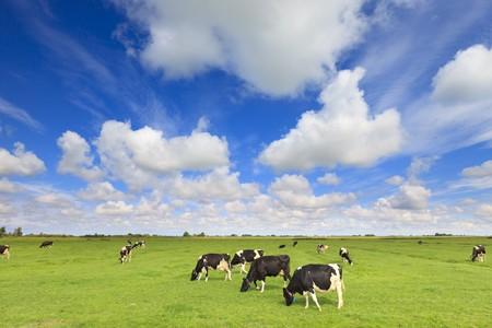 laticínio: vacas que pastam em um campo verde fresco