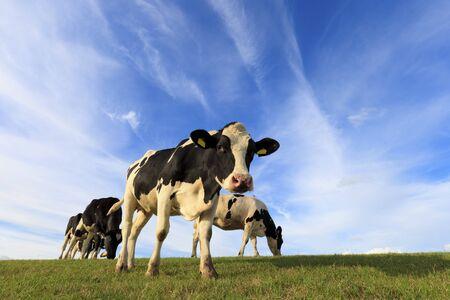 Kühe in einer frischen grünen Weide in Holland in die Kamera schaut, im Sommer
