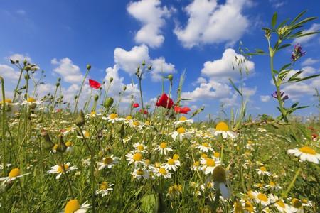 Frische Poppies in einem grünen Feld im Sommer