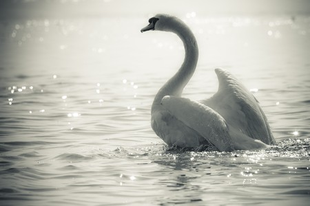 birds lake: Graceful Swan on a lake in black and white