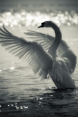 morning light: Graceful Swan on a lake in black and white