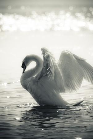 cisnes: Swan agraciado en un lago en blanco y negro
