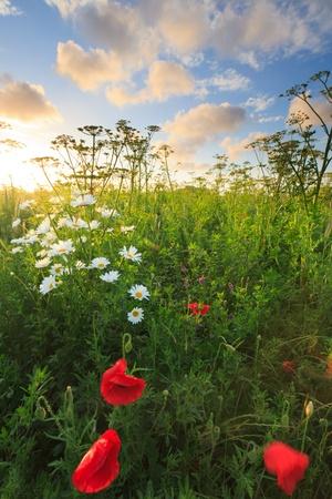 flor silvestre: Hermoso campo de flores frescas en verano