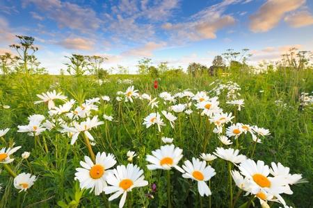 campo de margaritas: Hermoso campo de flores de verano