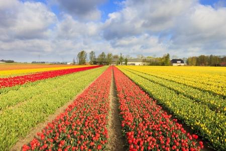 Tulpen auf einem Feld in Holland im Sommer
