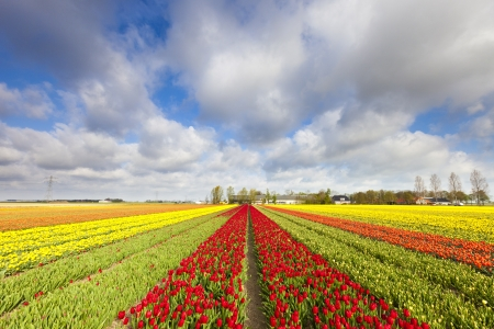 Tulips in a field in Holland in summer Stock Photo