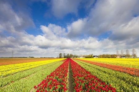 Tulpen in einem Feld in Holland im Sommer