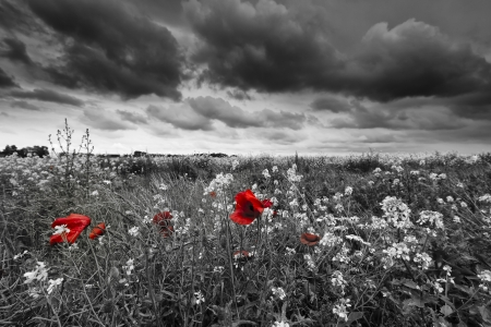 red head: Poppies in a field in black and white Stock Photo