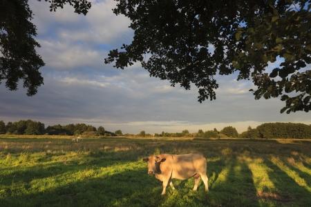 Kuh weiden auf der grünen Wiese im Sommer Standard-Bild