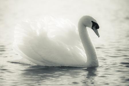 cisnes: Cisne agraciado en un lago en blanco y negro