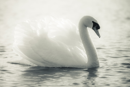 Graceful Swan on a lake in black and white photo