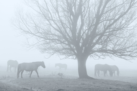 Horses in a field in the fog photo