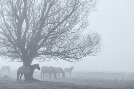 arboles blanco y negro: Caballos en un campo en la niebla Foto de archivo