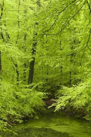Fresh green forest in spring photo
