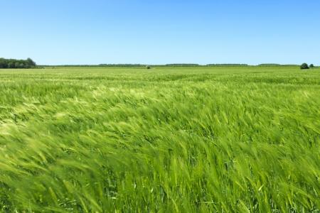 Grünes Feld mit blauem Himmel Standard-Bild