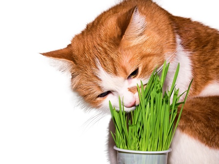 catnip: Red cat eating green grass isolated