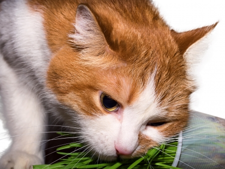 Red cat eating green grass isolated photo