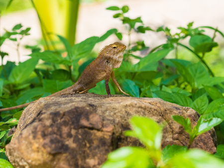 Brown lizard on the stone in Thailand photo