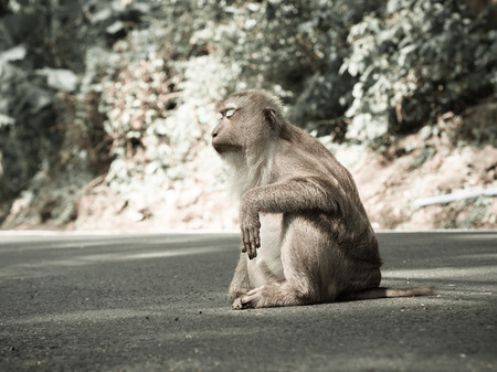 barbary ape: Monkey sitting on the road at the park