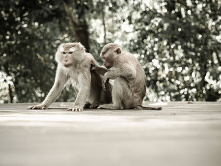 barbary ape: Two monkeys sitting on the road at the park
