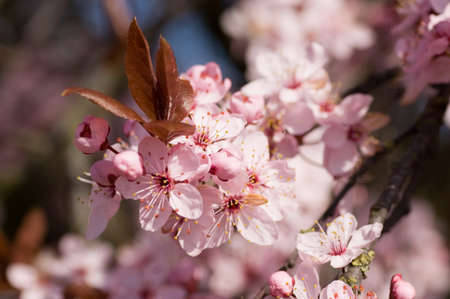 Closs-up image of the blossom on a Prunus serrulata, flowering cherry tree   Spring time