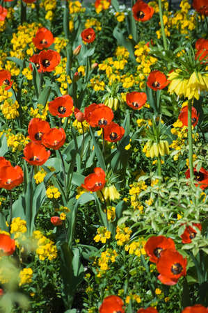 A spring flower bed with red and yellow blooms including tulips and wallflowers  photo