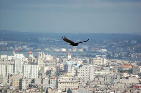 turkey vulture: Vulture over Havana   A turkey vulture, latin name Cathartes aura, flying over Central Havana, Cuba  Stock Photo