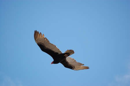 turkey vulture: View of a turkey vulture, latin name Cathartes aura, in flight  Stock Photo