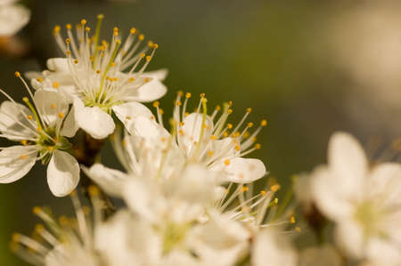 Clusters of flowers on a hawthorn bush, latin name Crataegus monogyna, blooming in springtime. photo