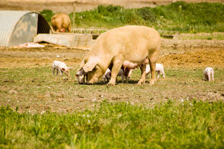 piglets: Mother sow with piglets beside a sty on a farm in Berkshire  Stock Photo
